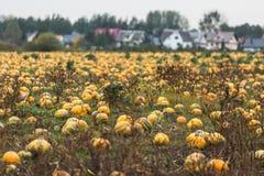Campo de la calabaza en granja orgánica Imagen de archivo
