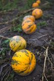 Campo de la calabaza en granja orgánica Fotografía de archivo libre de regalías