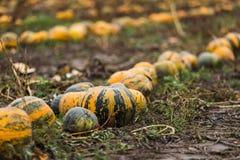 Campo de la calabaza en granja orgánica Foto de archivo