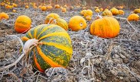 Campo de la calabaza en otoño fotos de archivo libres de regalías
