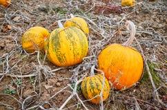Campo de la calabaza en otoño imagenes de archivo