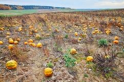 Campo de la calabaza en otoño foto de archivo