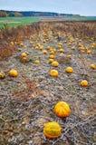 Campo de la calabaza en otoño imagen de archivo libre de regalías