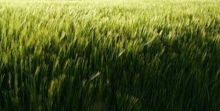 Campo de la cebada   Imagen de archivo libre de regalías