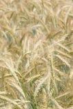 Campo de la cebada Foto de archivo libre de regalías