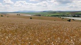 Campo de la cebada coloreada de oro en paisaje rural típico en Eslovaquia almacen de metraje de vídeo