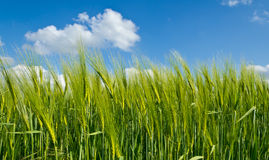 Campo de la cebada con el cielo azul Fotos de archivo libres de regalías