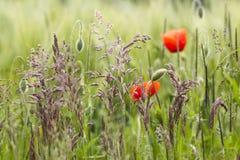 Campo de la cebada con la hierba y las amapolas salvajes Imagen de archivo