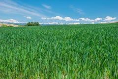 Campo de la cebada de Biei Imagen de archivo libre de regalías