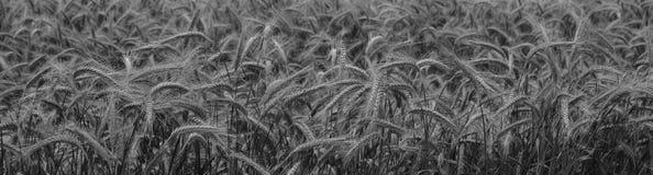 Campo de la cebada en blanco y negro Imágenes de archivo libres de regalías