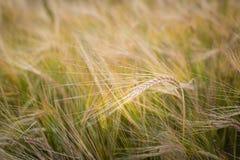 Campo de la cebada en el final del verano imagen de archivo