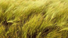 Campo de la cebada en el viento almacen de video
