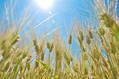 Campo de la cebada en verano Imagen de archivo libre de regalías