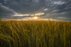 Campo de la cebada, oídos de oro del primer de la cebada en la puesta del sol imagen de archivo