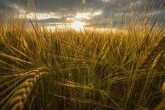 Campo de la cebada, oídos de oro del primer de la cebada en la puesta del sol fotografía de archivo libre de regalías