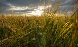 Campo de la cebada, oídos de oro del primer de la cebada en la puesta del sol fotos de archivo