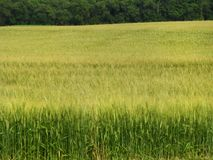 Campo de la cebada para la industria del forraje del ganado o de la cerveza del arte imagen de archivo
