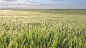Campo de la cebada que se sacude en el viento metrajes