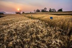 Campo de la cebada y la puesta del sol de la escena rural Fotografía de archivo libre de regalías