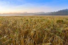 Campo de la cebada y mañana augusta de niebla Foto de archivo