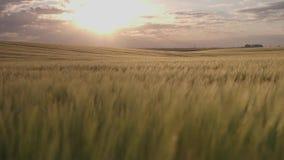 Campo de la cebada y sol de la mañana almacen de metraje de vídeo