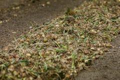 Campo de la cebolla Imagen de archivo