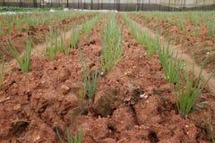 Campo de la cebolla verde, filas de la cebolla en la granja Fotos de archivo