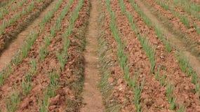 Campo de la cebolla verde, filas de la cebolla en la granja Imagen de archivo libre de regalías