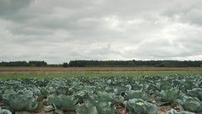 Campo de la col, día oscuro nublado en la distancia usted puede ver el bosque almacen de video