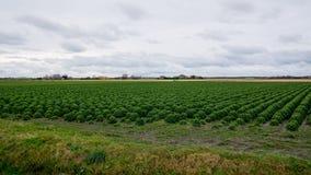 Campo de la col rizada o de la col de los granjeros Fotos de archivo libres de regalías