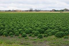 Campo de la col rizada o de la col de los granjeros Fotografía de archivo
