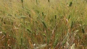 Campo de la cosecha de grano del trigo en un día soleado almacen de metraje de vídeo