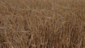 Campo de la cosecha de grano del trigo en un día soleado almacen de video