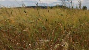 Campo de la cosecha de grano del trigo en un día soleado metrajes