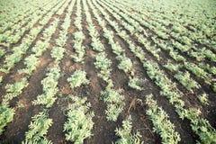 Campo de la cosecha del garbanzo Foto de archivo