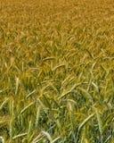 Campo de la cosecha del trigo Fotografía de archivo libre de regalías