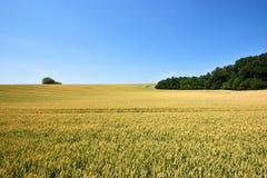 Campo de la cosecha del trigo con el cielo azul Fotografía de archivo