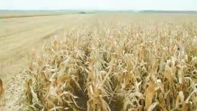 Campo de la cosecha mecánica del maíz almacen de metraje de vídeo