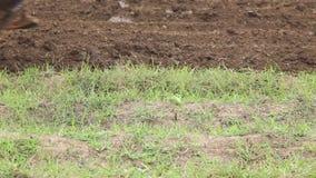 Campo de la fertilización de la tierra y del tractor del suelo Maquinaria agrícola pesada almacen de video