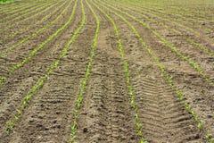 Campo de la fila de la planta de maíz joven verde Fotografía de archivo libre de regalías