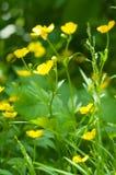 Campo de la flor amarilla Fotos de archivo