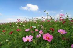 Campo de la flor salvaje del cosmos imagenes de archivo