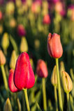 Campo de la floración roja de las flores del tulipán Fotografía de archivo