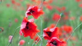 Campo de la floración y del baile en las amapolas de viento, campo ProRes 4 de la amapola 2 2 10bit almacen de metraje de vídeo