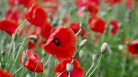 Campo de la floración y del baile en las amapolas de viento, campo ProRes 4 de la amapola 2 2 10bit metrajes