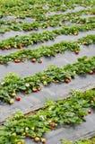 Campo de la fresa Foto de archivo libre de regalías