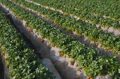 Campo de la fresa, Carlsbad California Fotografía de archivo libre de regalías
