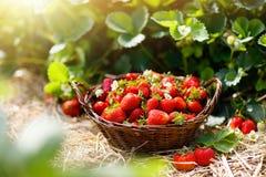 Campo de la fresa en granja de la fruta Baya en cesta imagen de archivo
