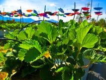 Campo de la fresa en Tailandia imagen de archivo