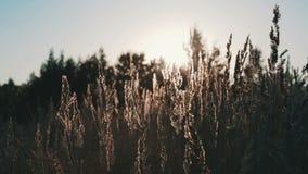 Campo de la hierba durante puesta del sol almacen de metraje de vídeo